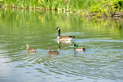 Ducks and geese swim along a freshwater pond in Saltville, VA on Tuesday, June 4, 2013. Copyright 2013 Jason Barnette