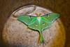 Luna moth in bucket - 2016-05-29
