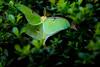 Luna moth - 2016-05-29