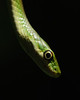 Green Ribbon Snake