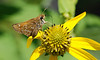 Skipper species on Green Coneflower