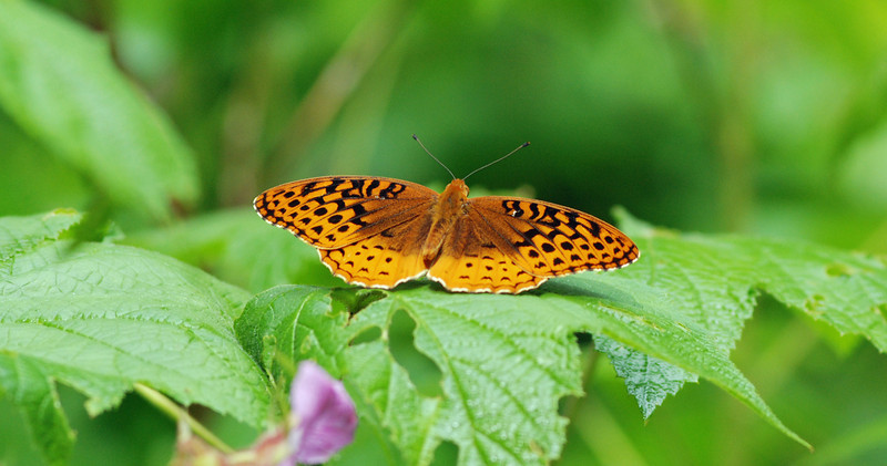 Meadow Fritillary butterfly