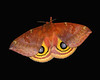 Io moth, female