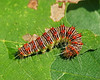 Retarded Dagger Moth Caterpillar