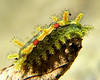 Spiny Slug Caterpillar