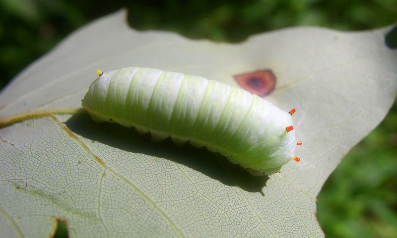 Tulip-Tree Moth Caterpillar