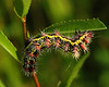 Smartweed Caterpillar