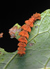 Emerald butterfly caterpillar