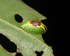 Button Slug Caterpillar