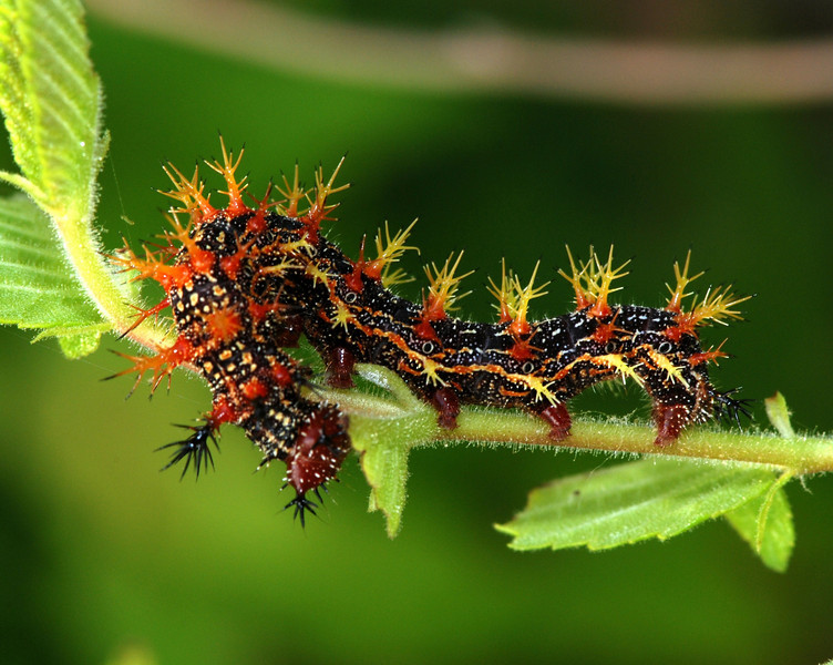 Question Mark Caterpillar