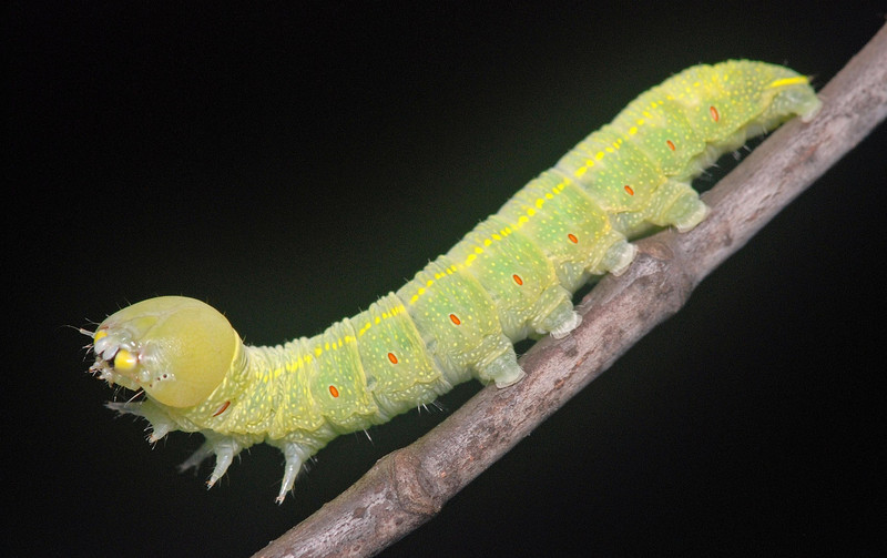 White-dotted Prominent caterpillar