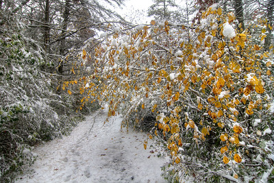 A splash of brilliant fall color contrasts against the fresh snow on the Virginia Creeper Trail in Damascus, VA on Saturday, November 1, 2014. Copyright 2014 Jason Barnette
