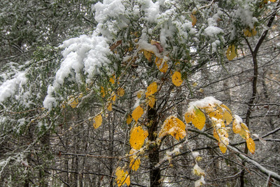 A few brilliant yellow leaves mark the lingering fall, surrounded by a heavy snow on the Virginia Creeper Trail in Damascus, VA on Saturday, November 1, 2014. Copyright 2014 Jason Barnette