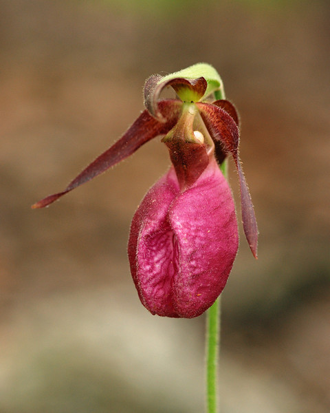 Orchid, Pink Ladyslipper