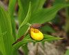 Orchid, Yellow Lady Slipper