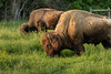 A pair of American bison graze in a field at Wilderness Road State Park in Ewing, VA on Saturday, May 9, 2015. Copyright 2015 Jason Barnette