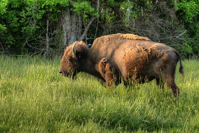 An American bison grazes in a field at Wilderness Road State Park in Ewing, VA on Saturday, May 9, 2015. Copyright 2015 Jason Barnette