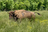 An American Bison roams a large field at Wilderness Road State Park in Ewing, VA on Friday, May 24, 2013. Copyright 2013 Jason Barnette