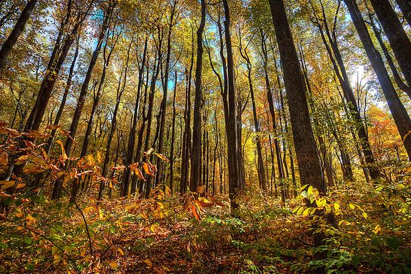 Shenandoah Mountain Trees