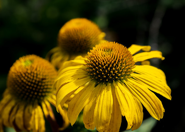 sunflower NoVA