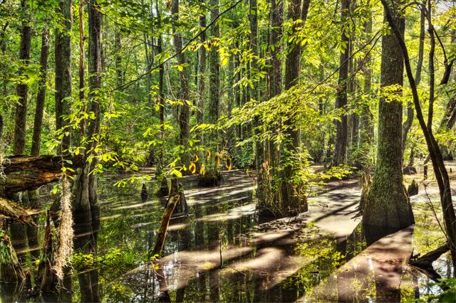 Cypress Swamp in First Landing VA State Park