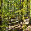 Cypress Swamp in First Landing VA State Park