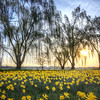 The Daffodils and Willow Trees