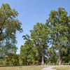Towering Poplar Trees