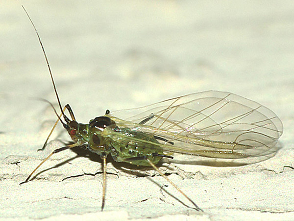 Winged English grain aphid adult