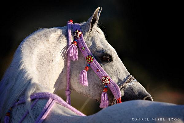 Saffyre Arabians