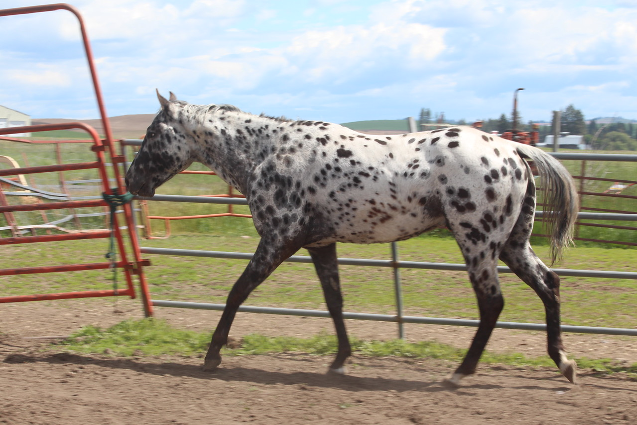 Royal Color Master, 2013 first foal for Beauty shown as a 2 yr. old, now standing at private stud in Montana