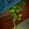 Ivy grows everywhere!