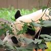 Panda closeup