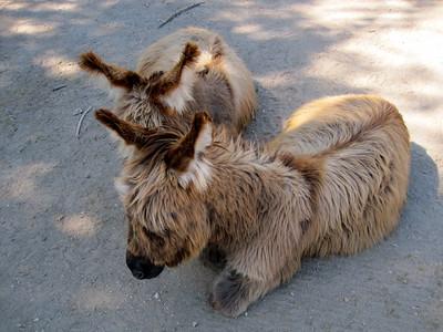 Miniature donkeys www.seeinspotsfarm.com