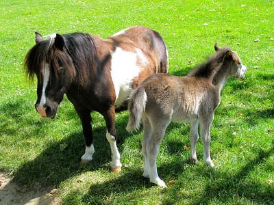 Miniature horses: Quicksilver Farm