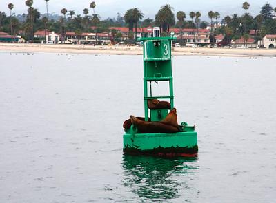 Seals by the harbor in Santa Barbara