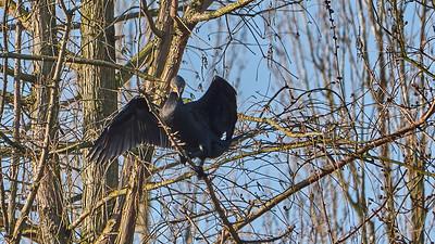 Cormoran - Promenade nature à Wezembek-Oppem - 14 janvier 2018