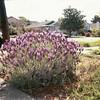 04/2003 Jen's lavender