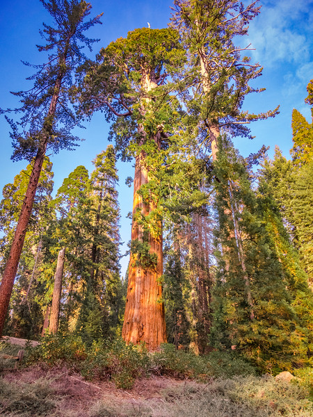 A Giant Sequoia in Grant Grove