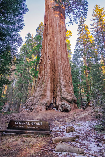 The General Grant Tree