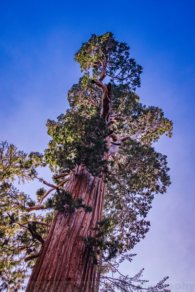 Giant Sequoia in Grant Grove
