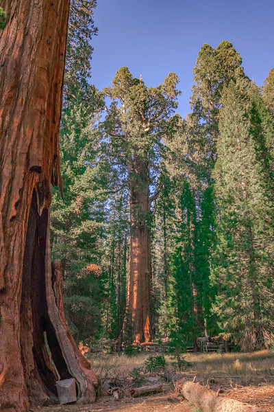 The General Sherman Tree in the Giant Forest