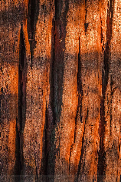 Shadows of a Sequoia