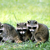 Baby racoon trio