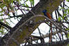 African paradise-flycatcher (Terpsiphone viridis) - Male