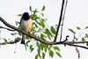Violet-backed starling or Plum-coloured starling (Cinnyricinclus leucogaster) - Male