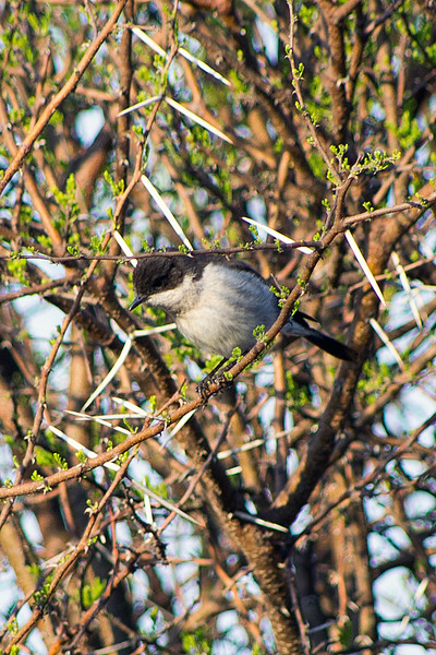 Fiscal flycatcher (Sigelus silens)
