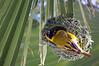 Southern masked-weaver (Ploceus velatus)