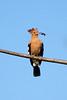 African hoopoe (Upupa africana)