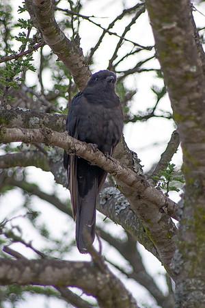 Family: Cuculidae (Old World cuckoos)